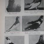Peterfi Stefan - Cresterea porumbeilor (146)