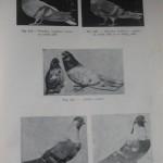 Peterfi Stefan - Cresterea porumbeilor (163)