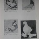 Peterfi Stefan - Cresterea porumbeilor (165)