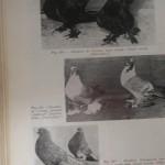 Peterfi Stefan - Cresterea porumbeilor (168)