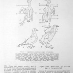 Peterfi Stefan - Cresterea porumbeilor (17)