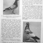 Peterfi Stefan - Cresterea porumbeilor (179)