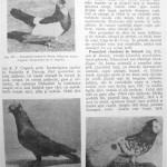 Peterfi Stefan - Cresterea porumbeilor (229)