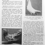 Peterfi Stefan - Cresterea porumbeilor (244)