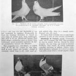 Peterfi Stefan - Cresterea porumbeilor (249)