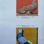 Peterfi Stefan - Cresterea porumbeilor (274)