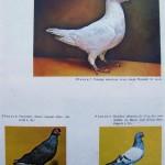 Peterfi Stefan - Cresterea porumbeilor (276)
