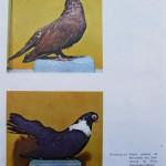 Peterfi Stefan - Cresterea porumbeilor (277)