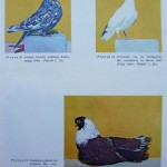 Peterfi Stefan - Cresterea porumbeilor (278)