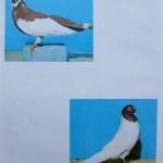 Peterfi Stefan - Cresterea porumbeilor (279)