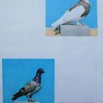 Peterfi Stefan - Cresterea porumbeilor (280)