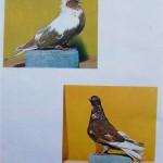 Peterfi Stefan - Cresterea porumbeilor (281)