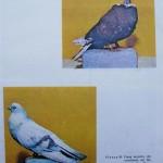 Peterfi Stefan - Cresterea porumbeilor (282)