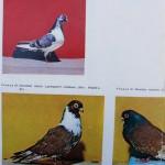 Peterfi Stefan - Cresterea porumbeilor (283)