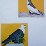 Peterfi Stefan - Cresterea porumbeilor (286)