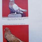 Peterfi Stefan - Cresterea porumbeilor (287)