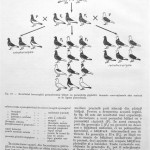 Peterfi Stefan - Cresterea porumbeilor (33)