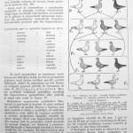 Peterfi Stefan - Cresterea porumbeilor (34)