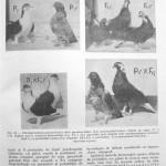 Peterfi Stefan - Cresterea porumbeilor (42)