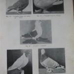 Peterfi Stefan - Cresterea porumbeilor (43)