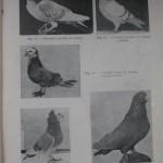Peterfi Stefan - Cresterea porumbeilor (45)
