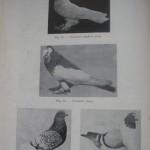 Peterfi Stefan - Cresterea porumbeilor (46)