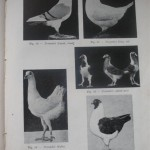 Peterfi Stefan - Cresterea porumbeilor (47)