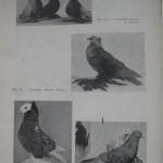 Peterfi Stefan - Cresterea porumbeilor (48)