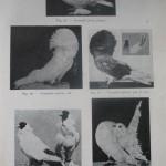 Peterfi Stefan - Cresterea porumbeilor (49)