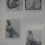 Peterfi Stefan - Cresterea porumbeilor (50)