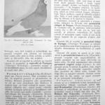 Peterfi Stefan - Cresterea porumbeilor (55)