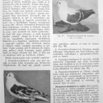 Peterfi Stefan - Cresterea porumbeilor (61)