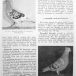 Peterfi Stefan - Cresterea porumbeilor (66)