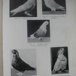 Peterfi Stefan - Cresterea porumbeilor (67)