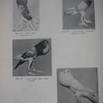 Peterfi Stefan - Cresterea porumbeilor (68)