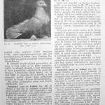 Peterfi Stefan - Cresterea porumbeilor (69)