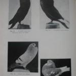 Peterfi Stefan - Cresterea porumbeilor (70)