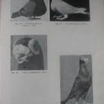 Peterfi Stefan - Cresterea porumbeilor (71)