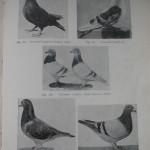 Peterfi Stefan - Cresterea porumbeilor (73)