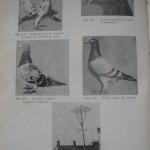 Peterfi Stefan - Cresterea porumbeilor (74)