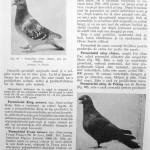 Peterfi Stefan - Cresterea porumbeilor (80)