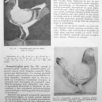 Peterfi Stefan - Cresterea porumbeilor (83)