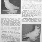 Peterfi Stefan - Cresterea porumbeilor (88)
