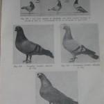 Peterfi Stefan - Cresterea porumbeilor (91)
