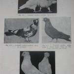 Peterfi Stefan - Cresterea porumbeilor (92)