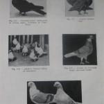 Peterfi Stefan - Cresterea porumbeilor (93)