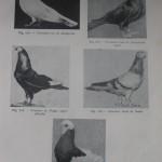 Peterfi Stefan - Cresterea porumbeilor (95)