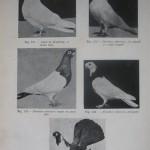 Peterfi Stefan - Cresterea porumbeilor (96)