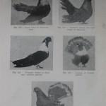 Peterfi Stefan - Cresterea porumbeilor (97)