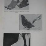 Peterfi Stefan - Cresterea porumbeilor (98)
